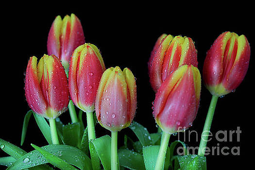 Yellow Tip Tulips by Tracy Hall