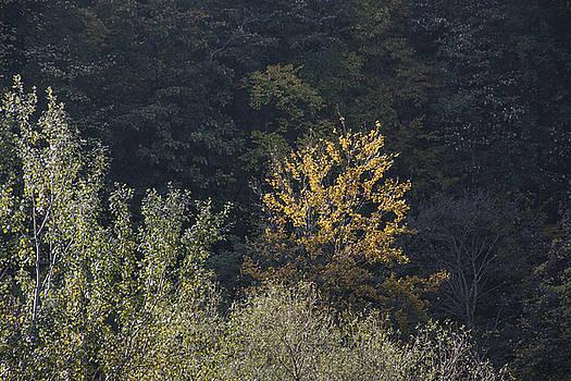 Yellow Treetop In The Forest by Zeljko Dozet