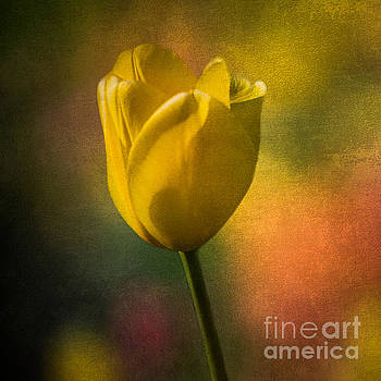 Yellow Tulip Color Of Spring by Michael Arend
