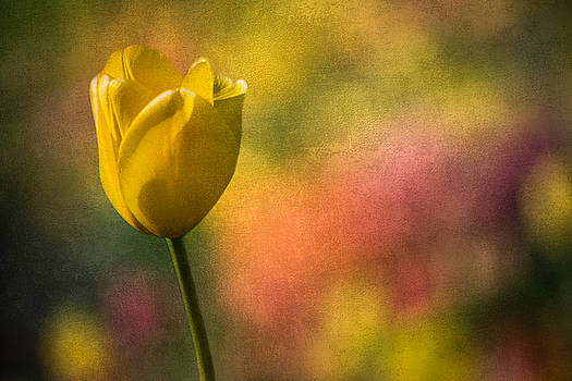 Yellow Tulip Echoes Of Spring by Michael Arend