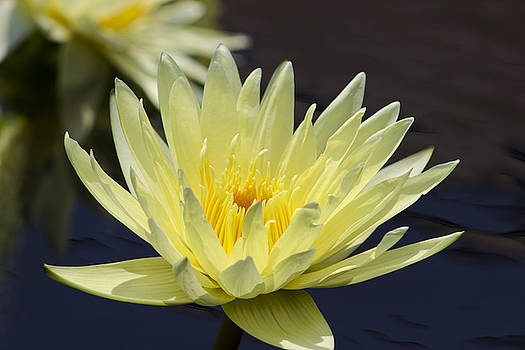 Yellow Water Lily Blooming by Mark Michel