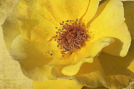 Yellow Wild Rose by Phyllis Denton