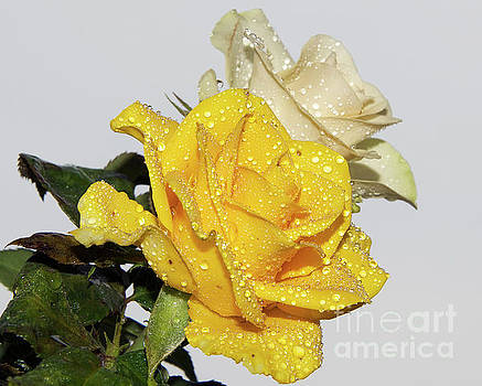 Yellow With White by Elvira Ladocki