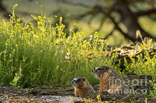 Yellowbellied Marmot and Pup by Natural Focal Point Photography