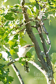 Yellowbilled Cuckoo in Minnesota Forest by Natural Focal Point Photography