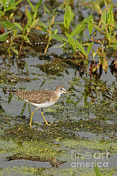 Yellowlegs on the Marsh by Natural Focal Point Photography