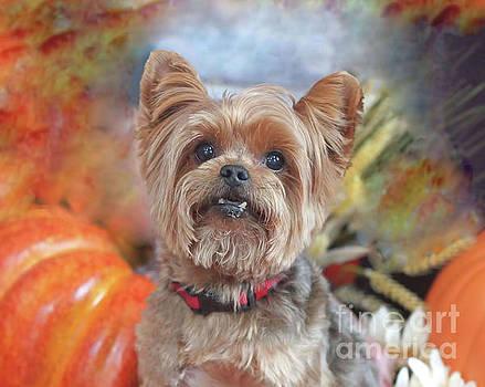 Yorkie fall portrait by Tabatha Knox