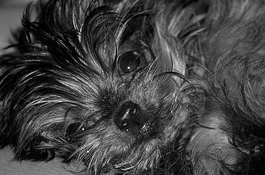 Yorkie in Black and White by Peter  McIntosh