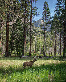 Yosemite Valley Mule Deer by Phil Abrams