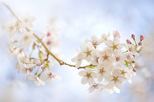 Yoshino Cherry Blossom by Jacky Parker