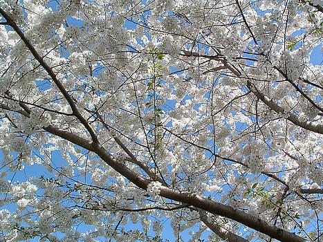 Yoshino Cherry Blossoms by Gerard Fritz