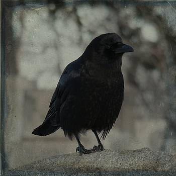 Young Blackbird by Gothicrow Images