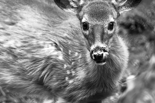 Young Deer in Black and White by Tracy Winter