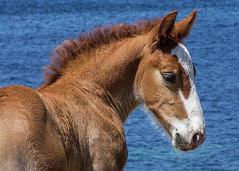 Young Foal by Sophie De Roumanie