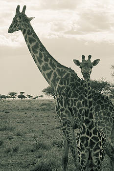 Darcy Michaelchuk - Young Giraffe with Mom in Sepia