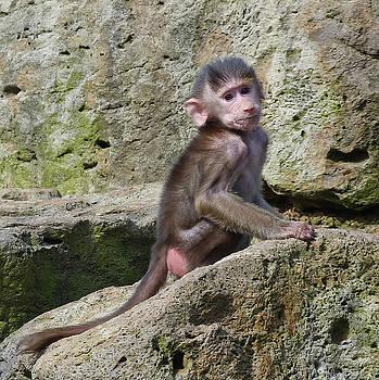Baby Hamadryas Baboon by Margaret Saheed