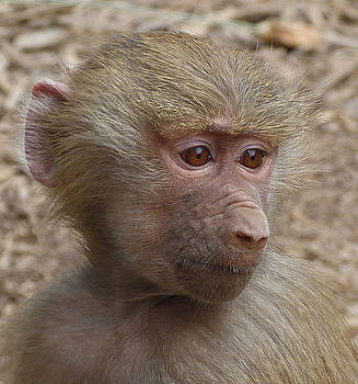 Young Hamadryas Baboon Portrait by Margaret Saheed