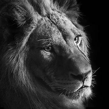 Young Lion in black and white by Lukas Holas