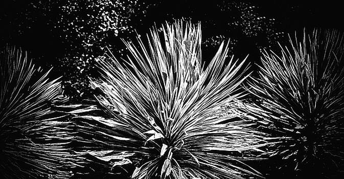 Yucca Black and White by Joseph Hollingsworth