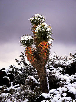 Yucca in the Snow by Alan Socolik