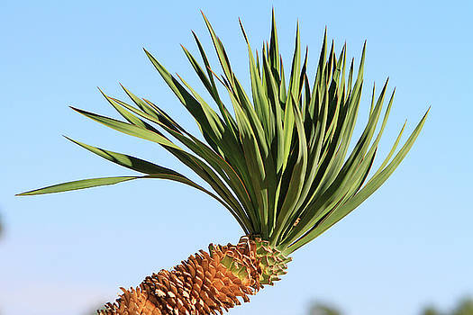 Yucca in the Sun by Shoal Hollingsworth