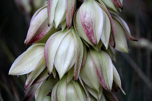 Yucca by Silke Brubaker