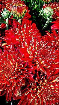 Zazzle Red Zinnias by Kathy Barney