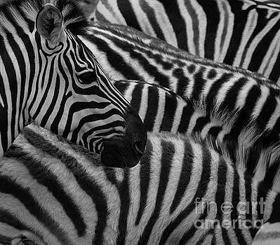 Zebra Stripes by Terry Lynn Johnson