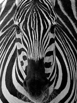 Jeff Brunton - Zebra 3