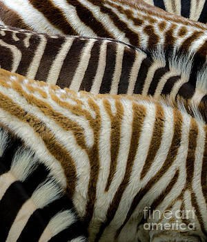 Zebra Print by Terry Lynn Johnson