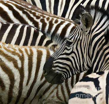 Zebra Patterns by Terry Lynn Johnson