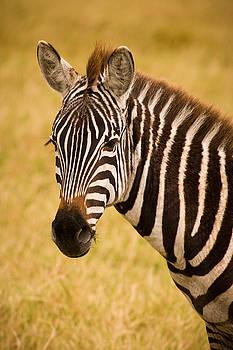 Adam Romanowicz - Zebra