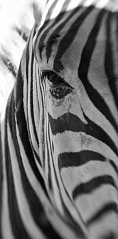 Zebra close up by Christine Amstutz