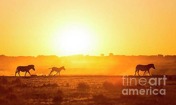 Tim Hester - Zebra Family Sunset