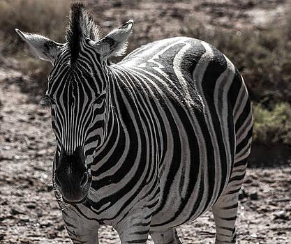 Zebra by Jennifer Ansier