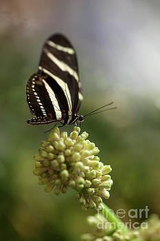 Zebra Longwing Butterfly Macro by Brandon Alms