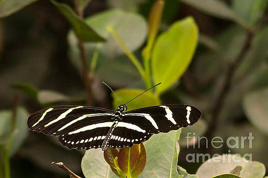 Zebra Striped Butterfly by Natural Focal Point Photography