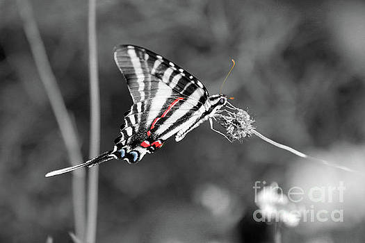 Zebra Swallowtail Butterfly 2016 by Karen Adams