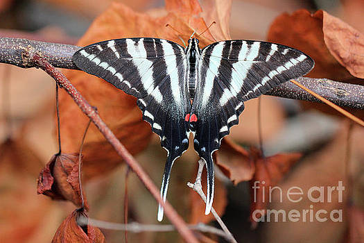 Zebra Swallowtail Butterfly Dorsal View by Karen Adams