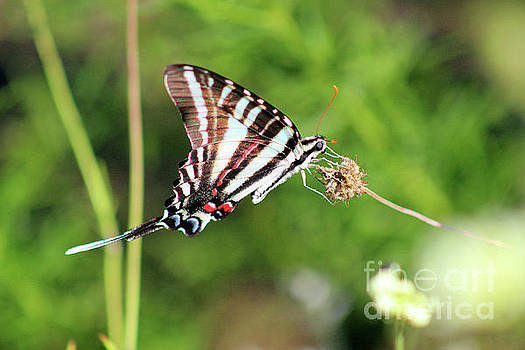 Zebra Swallowtail Butterfly in Garden 2016 by Karen Adams