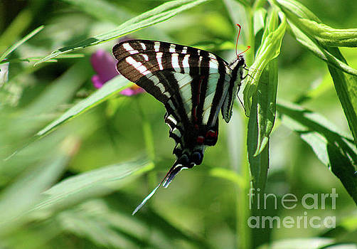 Zebra Swallowtail Butterfly in Green by Karen Adams
