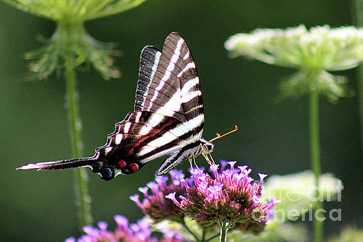 Zebra Swallowtail Butterfly In July by Karen Adams