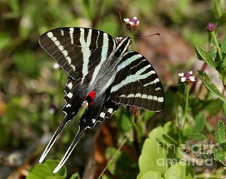 Zebra Swallowtail Butterfly by Myrna Bradshaw