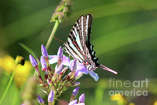Zebra Swallowtail Butterfly on Phlox by Karen Adams
