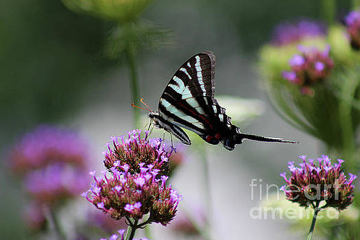 Zebra Swallowtail Butterfly on Verbena by Karen Adams