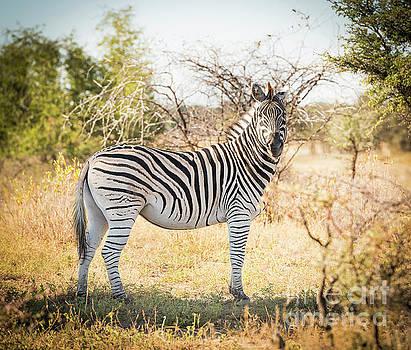 Tim Hester - Zebra