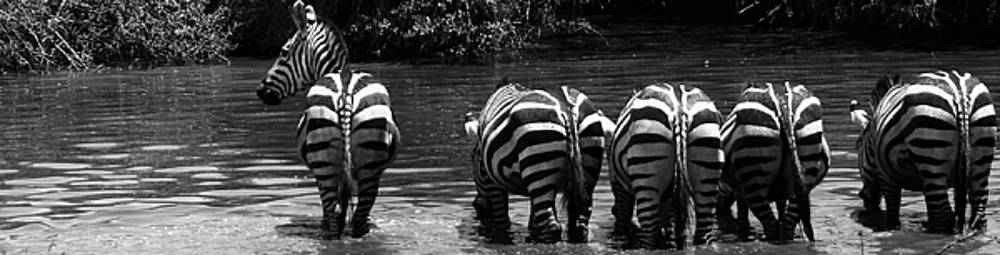 Darcy Michaelchuk - Zebras Cautiously Drinking