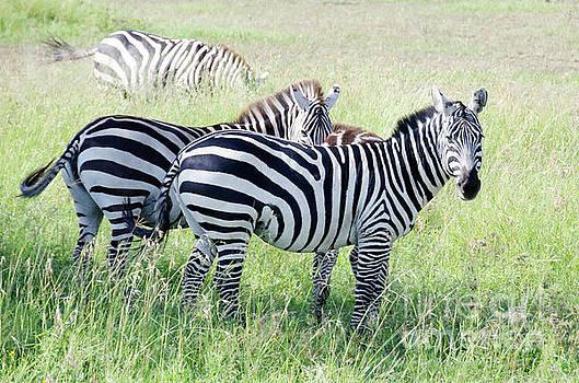 Zebras in Serengeti by Pravine Chester