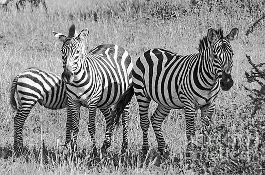 Zebras in thought by Pravine Chester