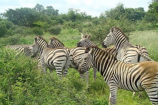 Zebras by Jacqueline Mason
